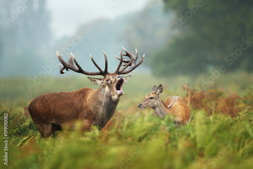 Poster de jardin Cerf Close-up of a Red deer roaring next to a hind