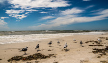 A Flock Of Sea Gulls Or Laughi...