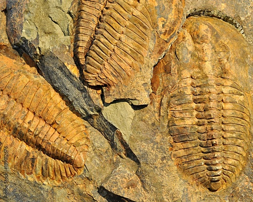 Photo sur Toile Les Textures prehistorical fossils trilobit