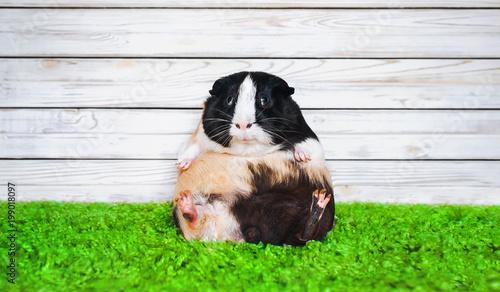 Photo Funny fatly and lazy guinea pig