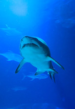 Shark Swimming On A Blue Background. Bottom View