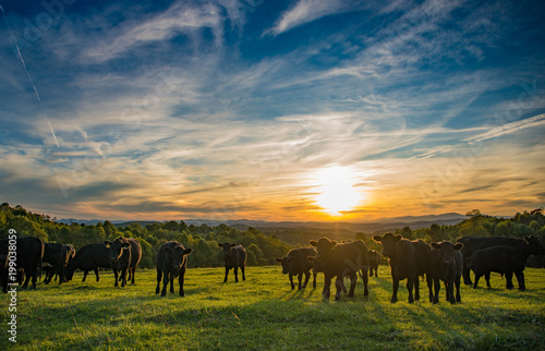Sunset behind cattle on farm Fotobehang