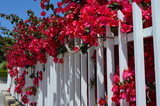 Fototapeta Kwiaty - Roslinność Majorki, czerwone kwiaty bugenwilli wystają zza białego parkanu