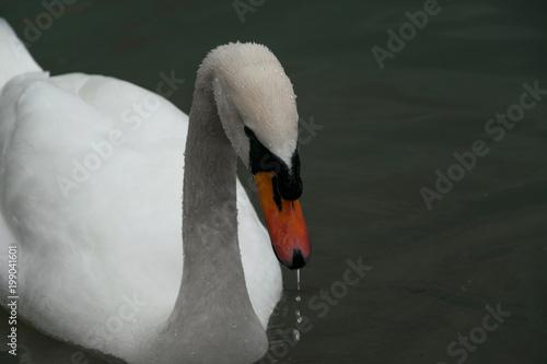 Staande foto Zwaan Close Up of beautiful white swan fishing in the lake
