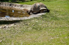 Old Giant Turtle With Brown Shell In Victoria (Australia) Close To Melbourne Crawling Towards Water To Drink In The Sun On A Lush Green Grass Lawn