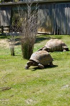 Old Giant Turtles Family With Brown Shell In Victoria (Australia) Close To Melbourne Laying In The Sun On A Lush Green Grass Lawn