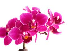 Pink Mini Phalaenopsis Orchids...