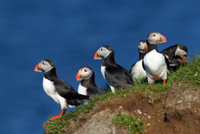 Group Of Puffins In Latrabjarg Cliffs In Iceland