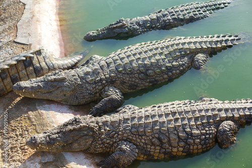 Foto op Plexiglas Krokodil Crocodiles bask in the sun on the shore