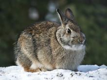 Snowshoe Hare Rabbit - Lepus A...