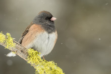 Female Dark-eyed Junco On Moss