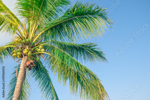 Spoed Foto op Canvas Natuur Tropical coconut trees are large and beautiful