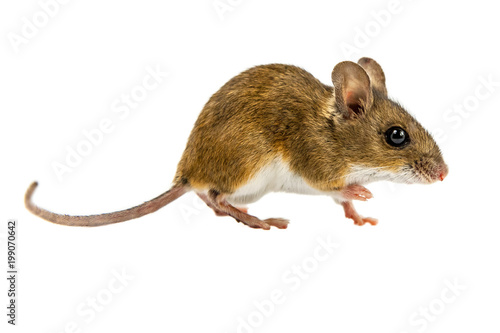 Photo  Curious Walking Field Mouse on white background