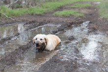 Dog Sitting In A Mud Puddle Ge...