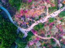 Sakura Tree Side Walkway In Ue...