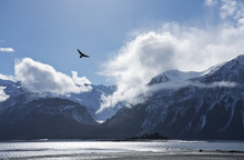 Eagle Flying Over The Chilkat ...