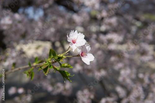 Foto op Plexiglas Magnolia Kirschblüte in Japan