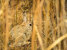 Brown Cottontail Rabbit Watchi...