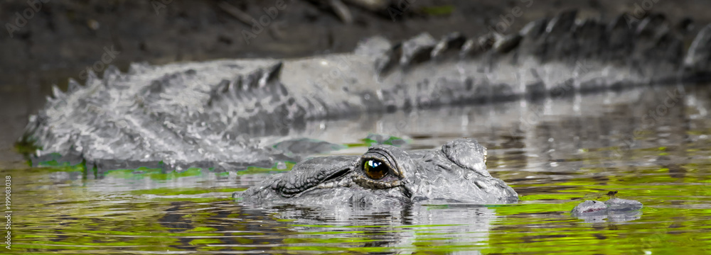 Fototapeta Alligator