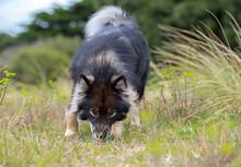 Finnish Lapphund Dog Sniffing ...