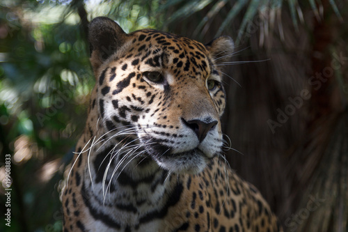 Foto op Canvas Luipaard Leopard in the forests of Belize