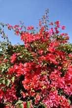 Pink Bougainvillea Flowers And...