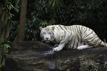 Tiger In A Jungle. White Benga...