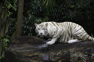 Tygrys w dżungli. Biały tygrys bengalski na pniu drzewa z lasem na tle