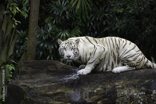 Foto op Plexiglas Tijger Tiger in a jungle. White Bengal tiger on tree trunk with forest on background