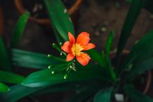 Orange Lily In Garden