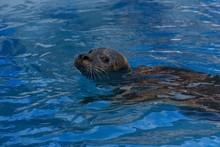 Mediterranean Monk Seal Swimmi...