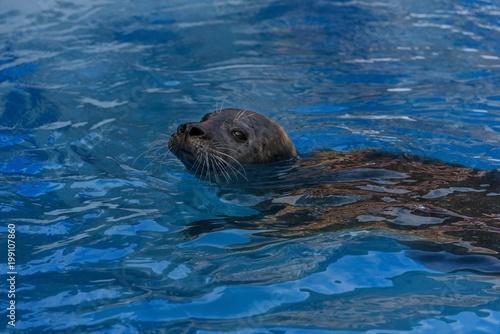 Fototapeta premium Mniszka śródziemnomorska pływanie w wodzie