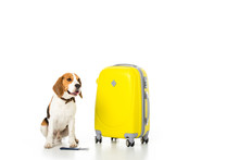 Beagle Dog With Suitcase, Passport And Ticket Isolated On White