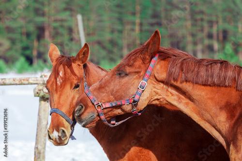 Fotografía  Две красивые лошади, крупным планом, на воне зимнего поля и леса