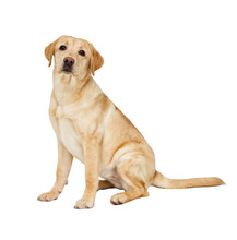 Labrador Puppy Looking At White Background