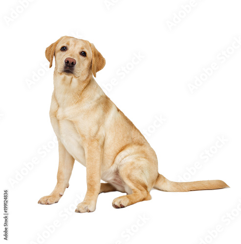 labrador puppy looking at white background Tableau sur Toile