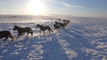 Approach Herd Horses Speed Run Along Snowfield Field Snow Leader Freedom Pasture Animal Warm Cinematic Orange Suset. Winter Frost Cold. Buryatia Mongolia Russia. Happiness Power. Blue Sky. Aerial