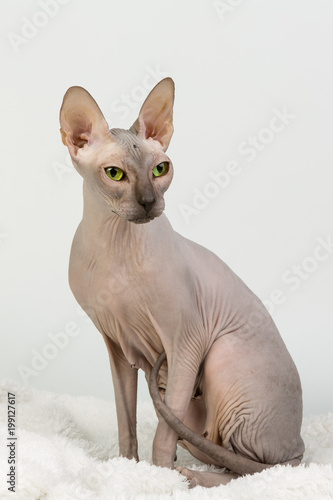 Foto Female bold sphinx cat with green eyes sitting studio on white background portra