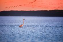 Single Pink Flamingo In Water