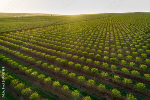 Fototapeta Aerial views of almond tree plantation in Alentejo, Portugal
