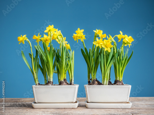 Deurstickers Narcis Fresh potted daffodils