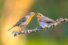 Parent Robin Bird Feeding Juve...