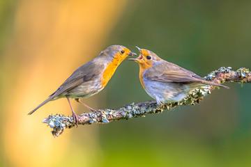 Parent Robin bird feeding juvenile