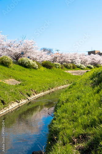 Tuinposter Purper Cherry blossom rows along the Toyoda River in Mobara city, Chiba Prefecture, Japan
