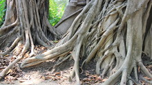 Banyan Roots In Tropical Fores...