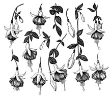 Colection Of Hand Drawn Fuchsi...
