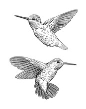 Set Of 2 Hand Drawn Hummingbir...