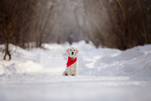 Golden Retriever Dog In The Wi...
