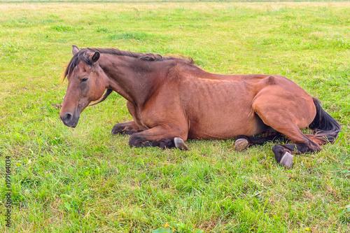 Fototapeta the horse lies on the green field obraz