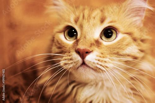 Fotografia Fluffy ginger cat close-up.